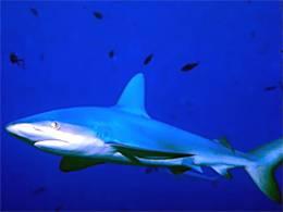 Совет эксперта: если акула нападает, дайте ей в глаз