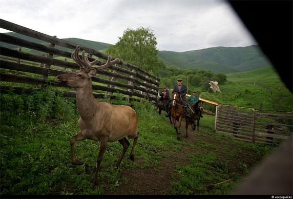 Резка пант у маралов в Казахстане (фото)