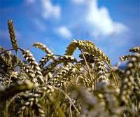 Внутренняя цена на зерно в Казахстане поднялась до 280 долларов за тонну