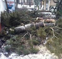 В Алматы вырубают здоровые деревья