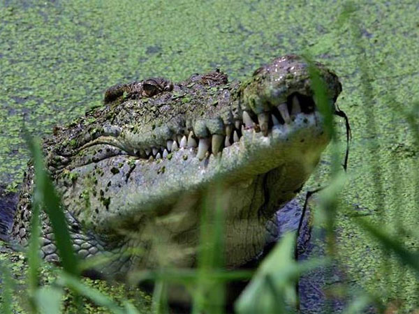 На Филиппинах скончался крокодил-людоед, занесенный за свои габариты в Книгу рекордов Гиннесса