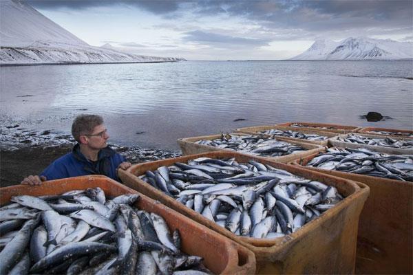 Рыбный апокалипсис в Исландии - погибло 30.000 тонн сельди