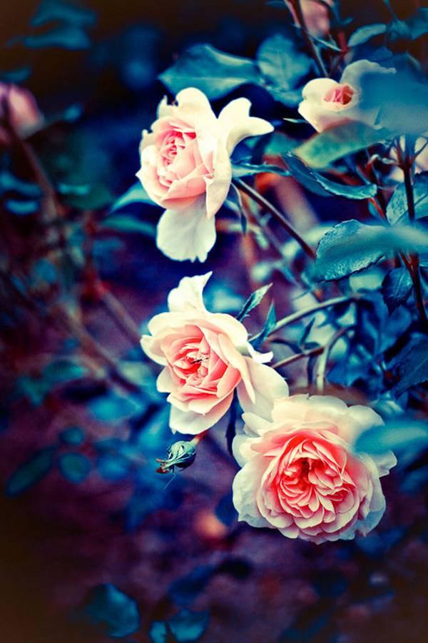 0 ae3d7  Цветы Барбары Флорчик