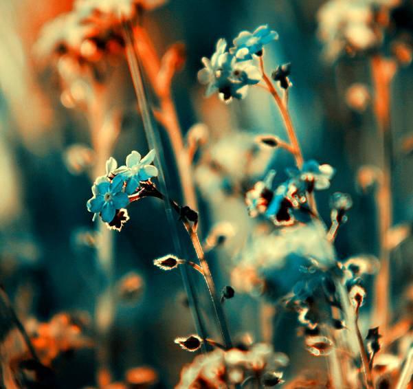 0 ae3c9  Цветы Барбары Флорчик