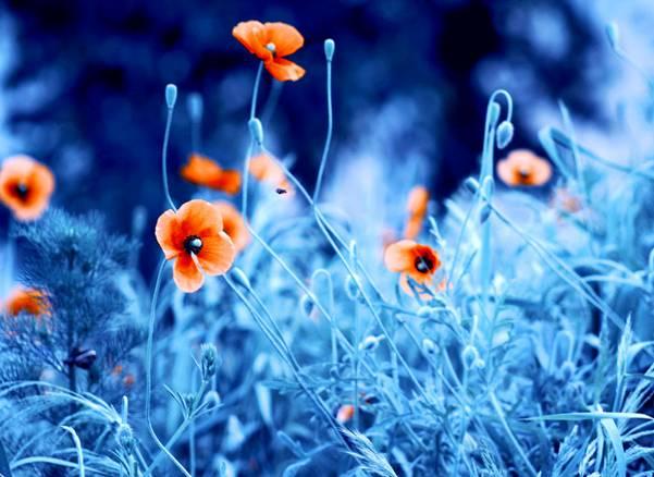 0 ae3c5  Цветы Барбары Флорчик