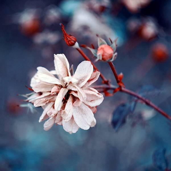 0 ae3c2  Цветы Барбары Флорчик