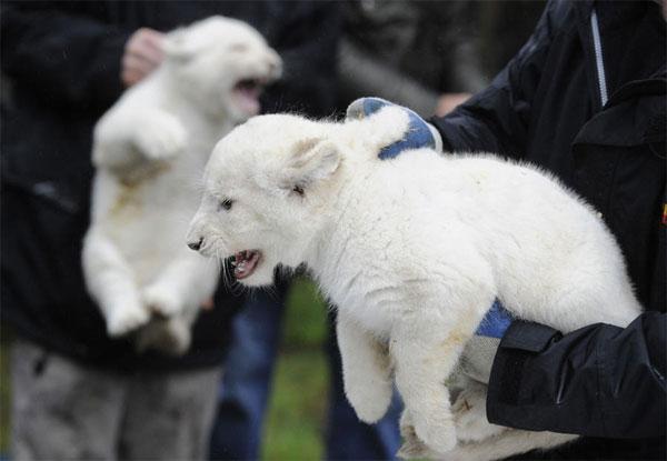 В немецком зоопарке публике показали тигрят и львят альбиносов