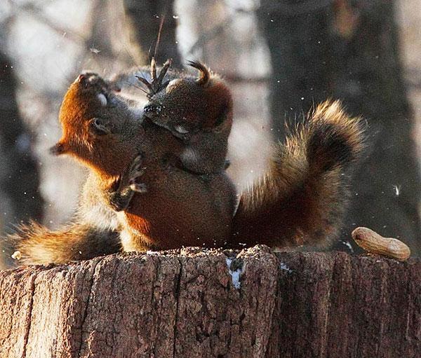Нешуточная борьба за орех