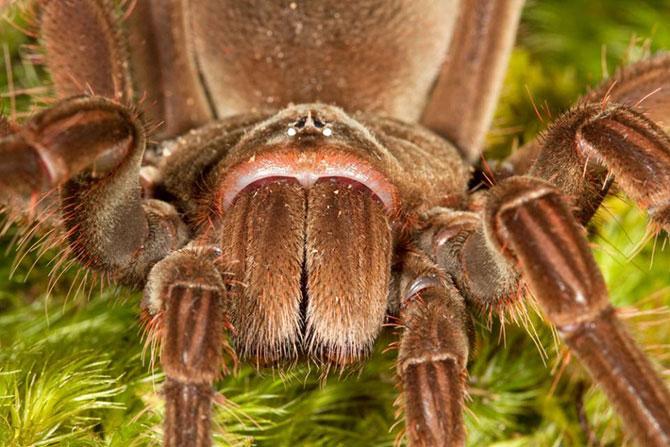 Как выглядит самый большой тарантул