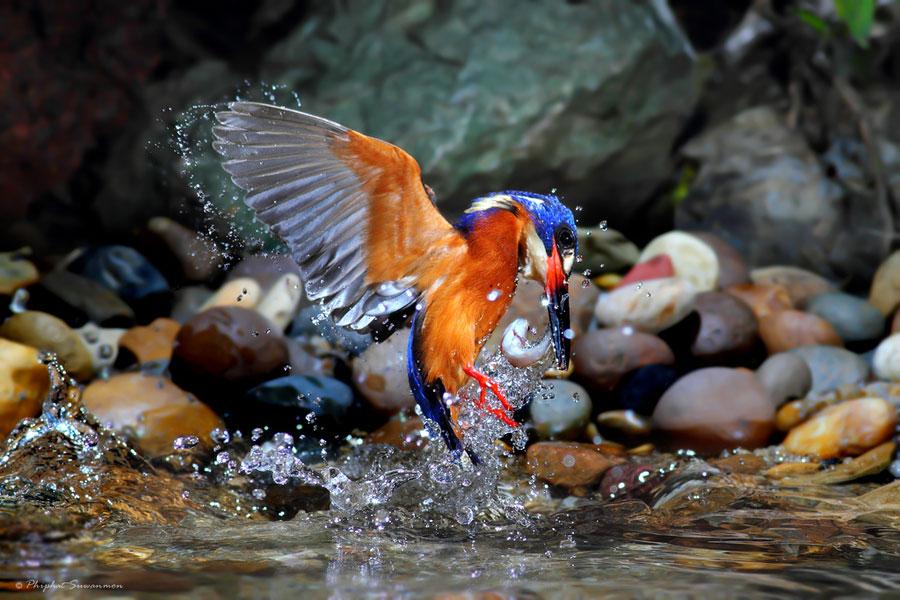 Поразительные кадры рыбалки голубого зимородка