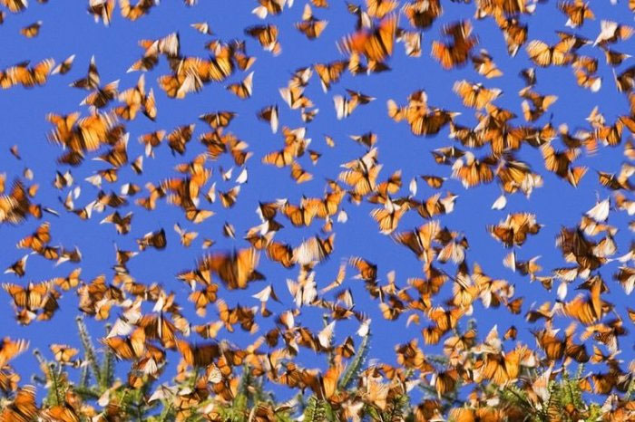 Миграция бабочек данаида монарх