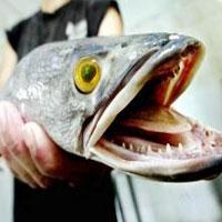 Столичные рыболовы бьют тревогу - в Ишиме завелись монстры