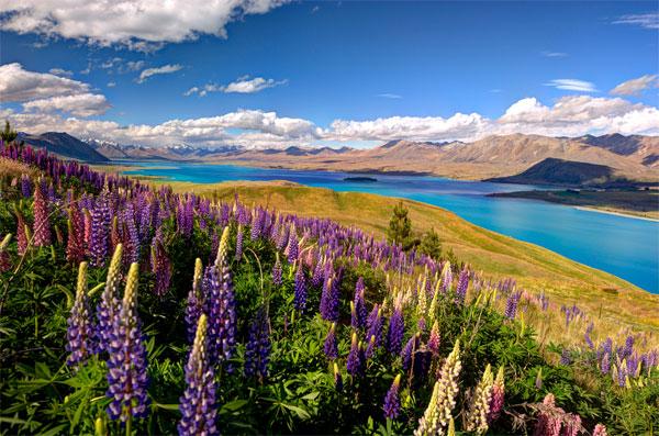 Красочное цветение люпинов на озере Текапо