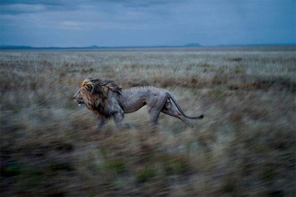 Лицом к лицу со львом