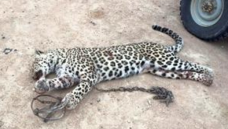 Пойманный в Мангистауской области леопард: Сотрудники Инспекции встретились с участниками происшествия