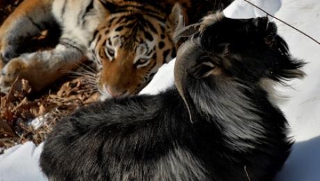 Тигр Амур всё-таки покалечил козла Тимура