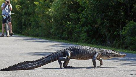 Аллигатор откусил женщине руку воФлориде