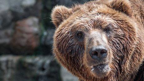 ВКанаде медведь напал на10-летнюю девочку
