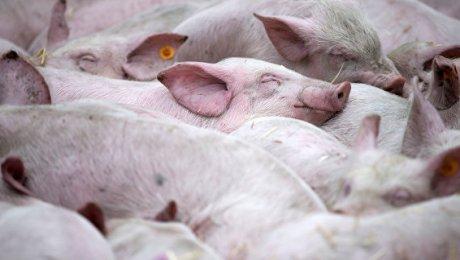 В 2-х областях государства Украины зафиксировали вспышки африканской чумы свиней