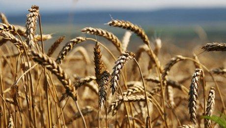 РФ вполне может стать крупнейшим экспортером пшеницы вмире