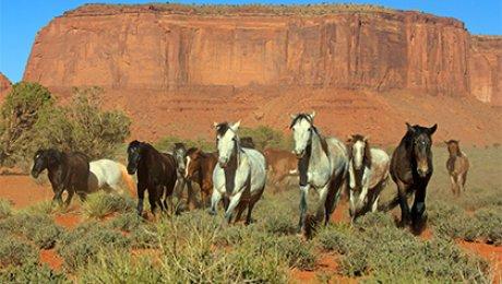 ВСША убьют 45 тыс. диких лошадей для расширения пастбищ
