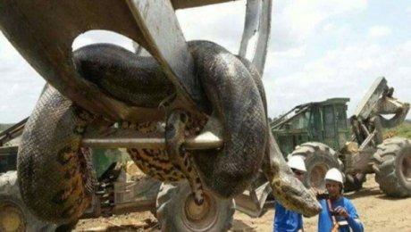 ВБразилии найдена змея чудовищных размеров