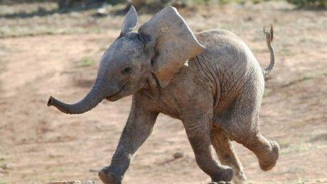 Как слонёнок спасал тонущего человека— Слоники помнят добро