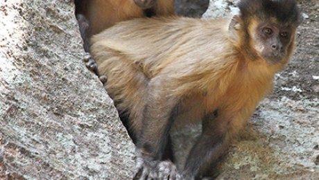 Открыты обезьяны, умеющие изготовлять каменные орудия труда