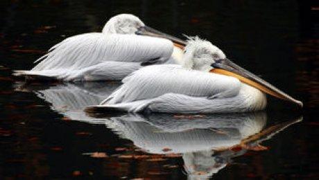 Сушеные головы пеликанов пытались ввезти вРоссию