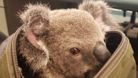 Упредполагаемой преступницы врюкзаке вместо наркотиков милиция отыскала коалу