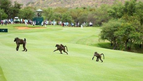 Мангусты ипавианы протестуют против гольф-турнира вЮАР