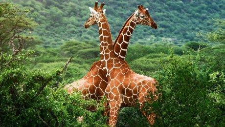Жирафы находятся под угрозой исчезновения— Ученые