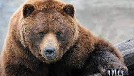 В РФ впроцессе съемок программы Первого канала надевушку напала медведица