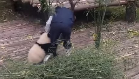 «Панда желает обнимашек»: Ролик сигривым медвежонком покорил соцсети