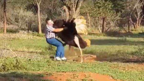 Южноафриканец попытался обнять страуса ибыл атакован им