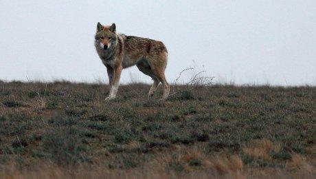 В Тенгизе сняли на видео «бесстрашного» волка