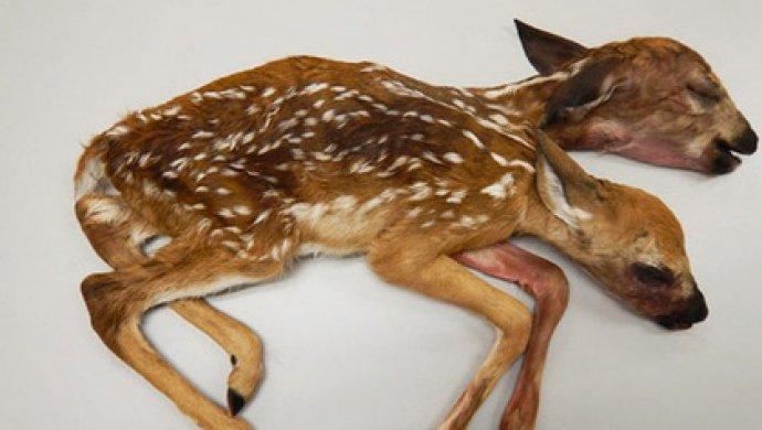 Житель америки пошел погрибы и отыскал двухголового олененка