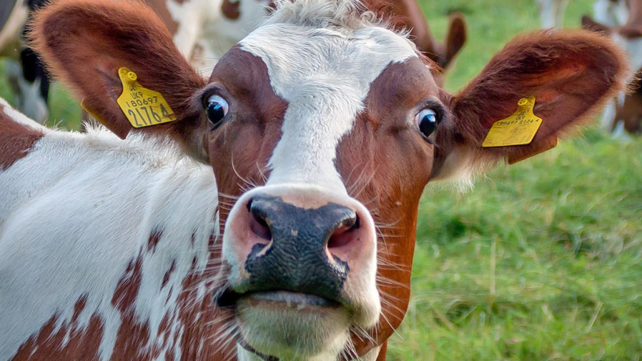 Праздники сияющие, картинки смешные коров