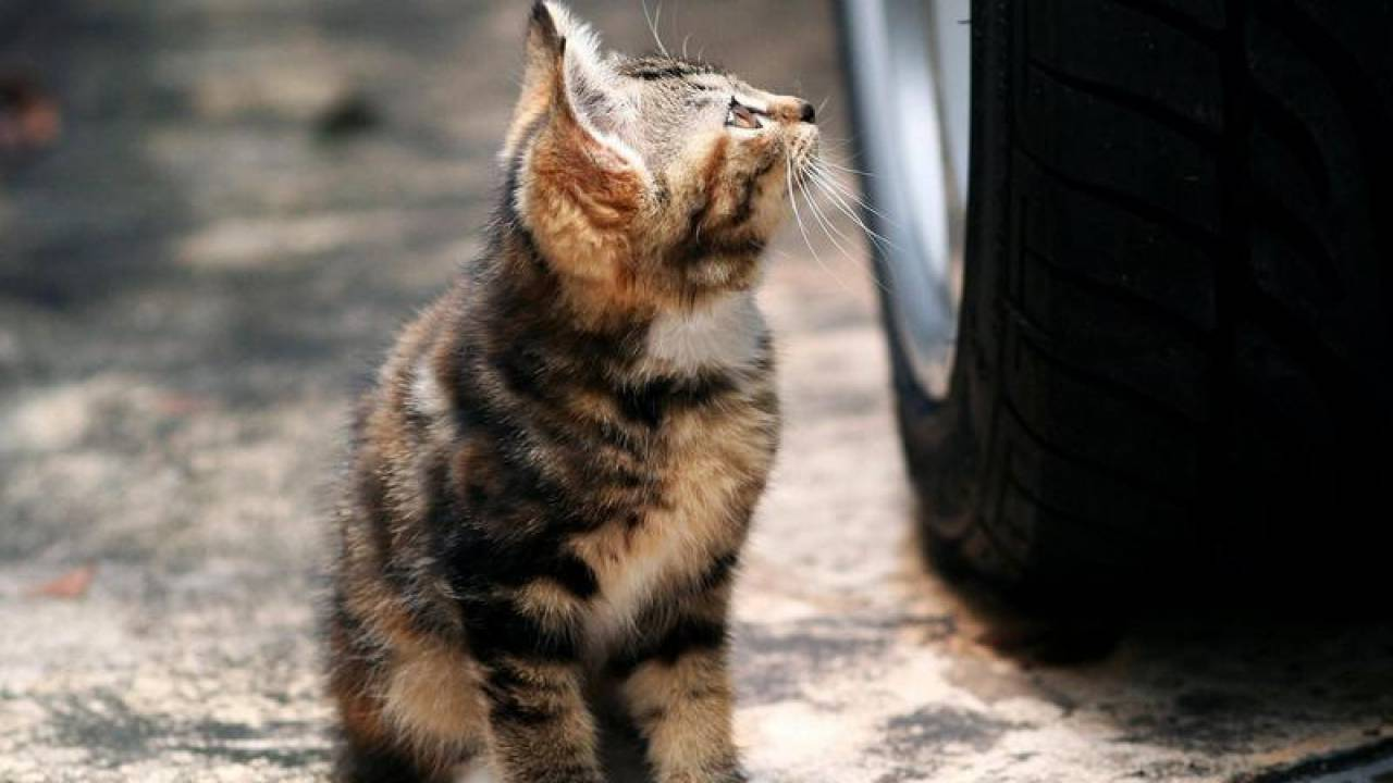 Водитель намеренно переехал котенка в Павлодаре, но его не накажут